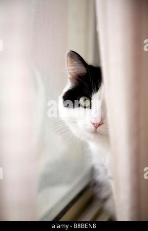Cat Davanzale dietro la cortina Foto Stock