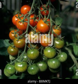 La maturazione di travatura reticolare di pomodori ciliegini giardinieri delizia in una serra giardino Foto Stock