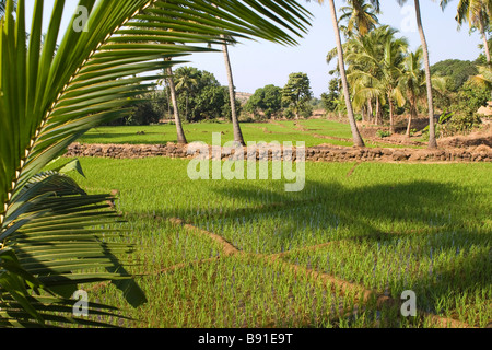 Risaie vista attraverso foglie di palma. Foto Stock
