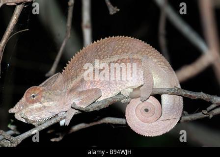 Angelo Chameleon (Furcifer angeli), un parente stretto del Panther Chameleon, dormendo su un ramoscello in Anjajavy, Foto Stock
