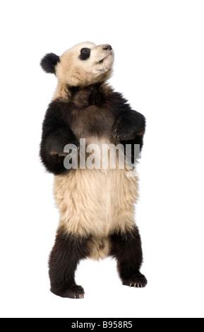 Panda gigante diciotto mesi Ailuropoda melanoleuca davanti a uno sfondo bianco Foto Stock