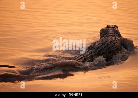 Coccodrillo del Nilo al tramonto in un fiume, Parco Nazionale Kruger, Sud Africa
