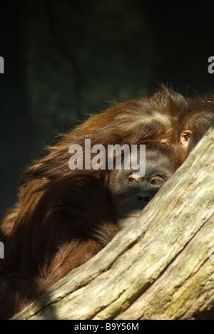 (Orangutan Pongo pygmaeus) Foto Stock