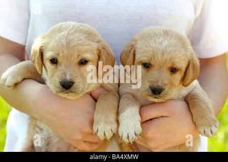 Il Labrador cucciolo e ragazza Foto Stock