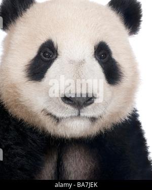 Panda gigante (18 mesi) - Ailuropoda melanoleuca davanti a uno sfondo bianco Foto Stock