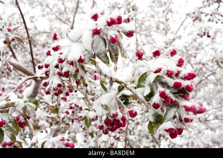 Un primo piano di Crabapple blossoms ricoperta di neve Foto Stock
