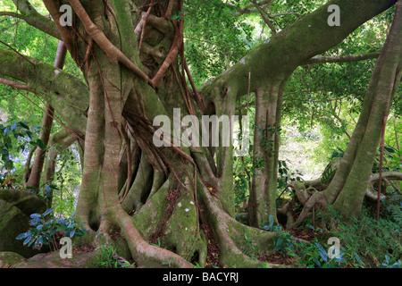 Banyan Tree lungo il sentiero Pipiwai a Waimoku rientrano nella Kipahulu Area di Haleakala National Park in Maui, Hawaii Foto Stock