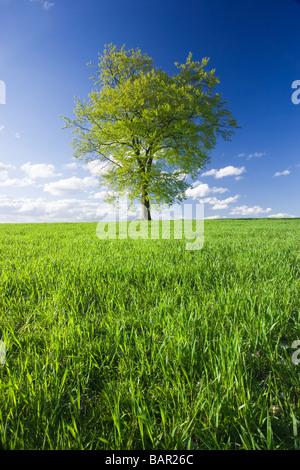 Unico faggio nel campo di giovani raccolto. Surrey, Regno Unito. Foto Stock