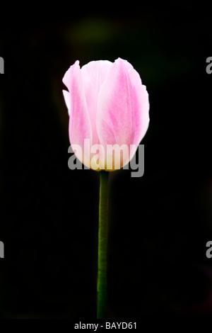 Close-up di un rosa pallido tulip contro uno scuro su sfondo nero Foto Stock