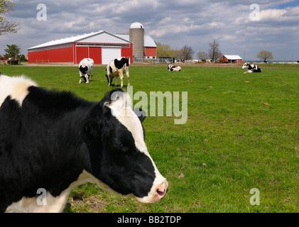 Chiudere su di una faccia di una vacca Holstein tra una mandria presso un caseificio con granaio rosso a Toronto Foto Stock