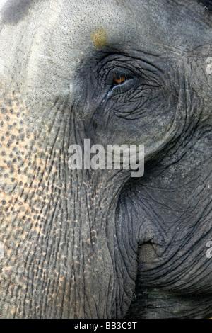 Close Up di occhio e tronco di elefante indiano Elephas maximus indicus presi in Nagarhole National Park, nello Foto Stock