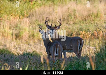 White-tailed bucks Foto Stock