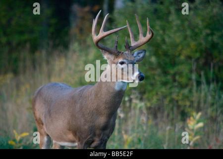 White-tailed buck Foto Stock