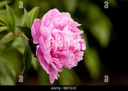 Una Peonia Rosa - una fioritura delle piante in genere Paeonia - il solo genere nella famiglia Paeoniaceae. Foto Stock