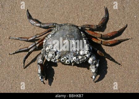 Comune di Shore Crab Carcinus maenas coperto di cirripedi sulla spiaggia prese a New Brighton, Wirral, Merseyside, Regno Unito