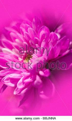 Macro di fiori di colore rosa Foto Stock