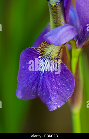 Petalo iris close up Foto Stock