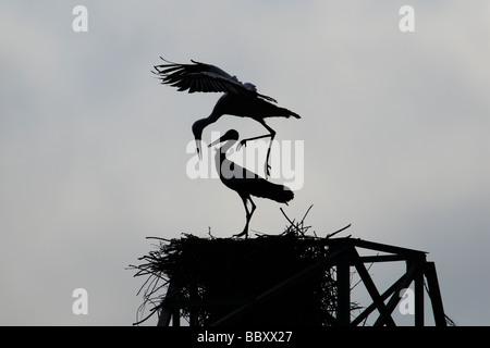 Silhouette di cicogne bianche nel nido durante il tentativo di accoppiamento Foto Stock