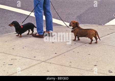 Due cani, daschunds al guinzaglio per la passeggiata in città. Foto Stock