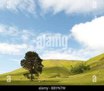 Pinus sylvestris. Unico di pino silvestre tree nelle colline della frontiera scozzese campagna. Scozia Foto Stock