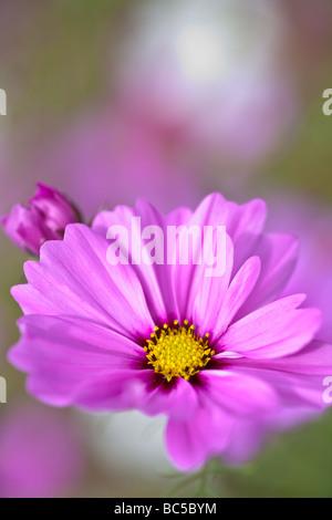 La radianza cosmo è coltivato un membro della famiglia aster. ha grandi 2-2.5' fioriture di colore variabile. questa varietà crescerà 4-5 m. di altezza