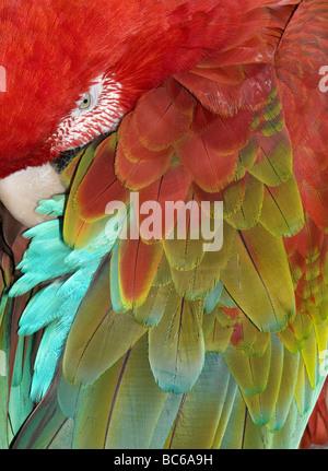 Il rosso e il verde Macaw (Ara chloroptera) dormire, dettaglio di piume Foto Stock