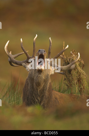 Il cervo (Cervus elaphus) stag ruggente durante l'autunnale di rut. Glenfield Lodge Park. Leicestershire. Regno Unito Foto Stock