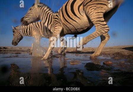 La BURCHELL o pianure zebra (Equus burchelli) due in esecuzione in waterhole. Il Parco Nazionale di Etosha. Namibia Foto Stock