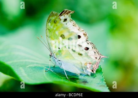Luna Indiana tarma (lat. actias selene) con sfondo verde focus è sull'occhio Foto Stock