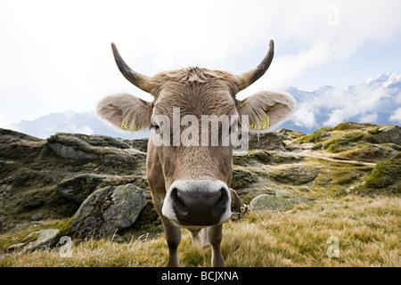 Mucca in un campo svizzero Foto Stock