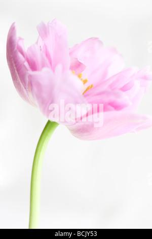 Perfezione lilla tulip ritratto freeflowing ed etereo bella arte della fotografia Jane Ann Butler JABP Fotografia392 Foto Stock