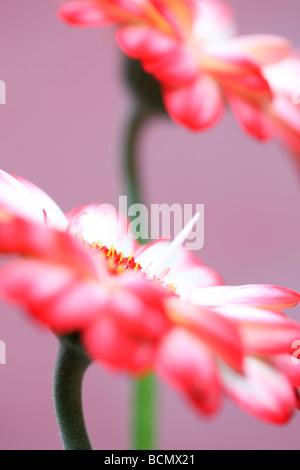Una bella immagine della punta rossa gerbere arte fotografia Jane Ann Butler JABP Fotografia380 Foto Stock