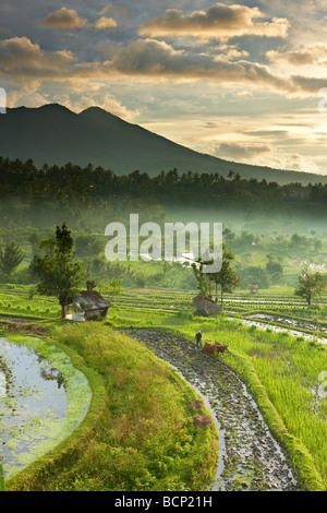 Bue guidato aratro in campi di riso terrazzati nr Tirtagangga all'alba con il picco vulcanico di Gunung Lempuyang, Bali, Indonesia