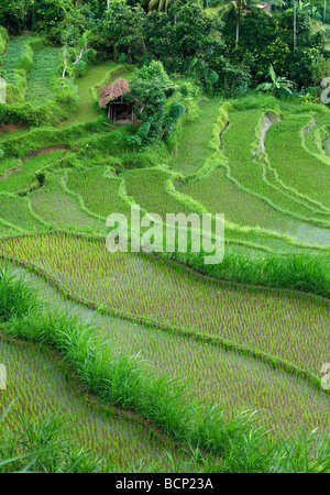 I campi di riso terrazzati, vicino Tirtagangga, Bali, Indonesia Foto Stock