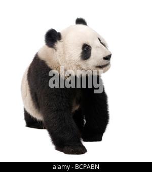 Panda gigante, diciotto mesi, Ailuropoda melanoleuca davanti a uno sfondo bianco, studio shot Foto Stock