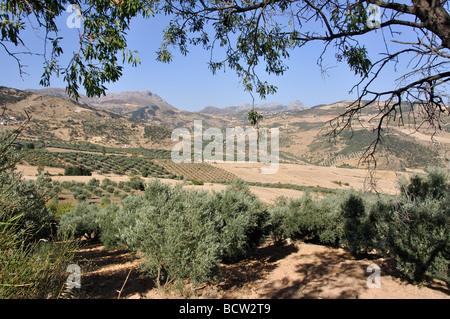 Paesaggio con oliveti, vicino a Antequera, provincia di Malaga, Andalusia, Spagna Foto Stock