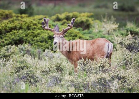 Mulo cervo nero Tailed Deer Odocoileus hemionus Rocky Mountain National Park Colorado USA Foto Stock