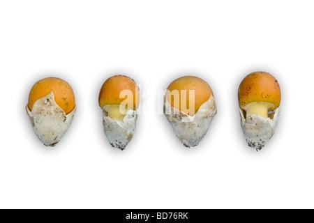 I giovani di Cesare funghi (Amanita cesarea) fotografato in studio (Francia). Jeunes oronges photographiées en studio.