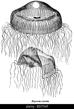 Aequorea cyanea medusa Foto Stock