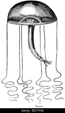 Dianaea medusa Foto Stock