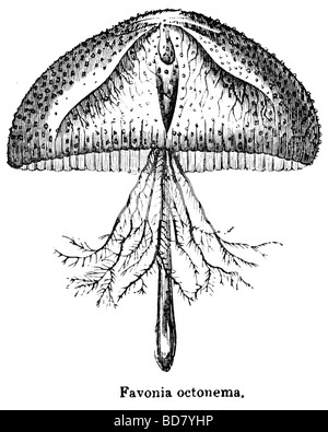 Favonia octonema medusa Foto Stock