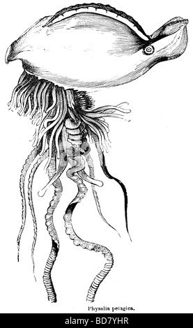 Physalia pelagica medusa Foto Stock