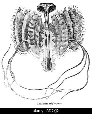 Callianira triploptera medusa Foto Stock