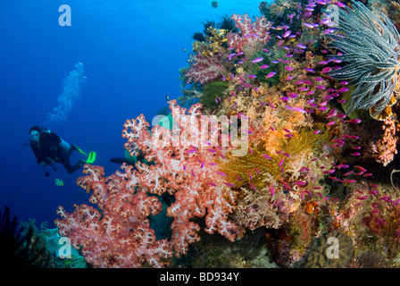 Scuba Diver in philippine giardini di corallo, Cabilao, Filippine Foto Stock