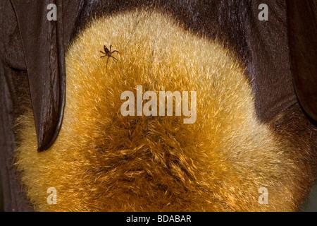 A testa grigia flying fox Pteropus poliocephalus frutto Bat con tick parassita Foto Stock