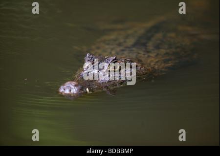 Spectacled Cayman crocodilus caimano, in un lago nella foresta pluviale a Isla Bastimentos parco nazionale, Bocas Foto Stock
