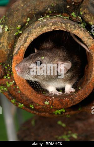 Brown rat Rattus norvegicus, prigionieri nel tubo, Agosto 2009 Foto Stock