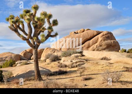 Joshua tree, Yucca palm, o albero yucca (Yucca brevifolia) nella parte anteriore della formazione monzogranite, Joshua Tree National Park, Palm D Foto Stock