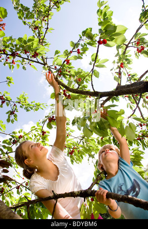 Ragazzo e una ragazza ciliegie di prelievo su albero Foto Stock