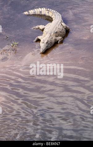 Coccodrillo del Nilo Crocodylus niloticus sulle rive di un fiume Sandbank nel Parco Nazionale Kruger Sud Africa